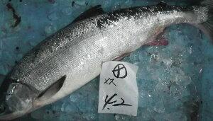 〔生筋子入ってます〕北海道産生鮭3kg前後(メス)〔B〕北港直販☆しゃけ・シャケ〔代引き不可〕