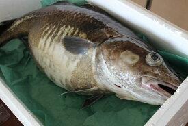 北海道産生真鱈(タラ)(オス)5kg以上(1尾)〔B〕北港直販・たら〔代引き不可〕
