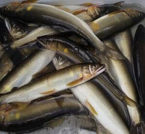 ひなさんが釣った天然鮎1尾 冷凍 中サイズ60g〜79g
