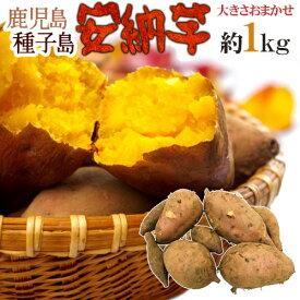 """【送料無料】種子島産 """"安納芋"""" 訳あり 約1kg《2kg購入で1kgおまけ、3kg以上購入で2倍に増量》【予約 10月下旬以降】"""