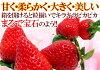"""Tokushima """"Sakura peach Strawberry"""" fancy box 24 pieces"""