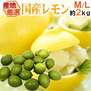 """【送料無料】""""国産レモン"""" 約2kg 12〜18玉前後 M〜L 産地厳選【予約 7月中下旬以降】"""