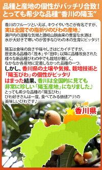 """香川県""""陽玉びわ(ヨウギョク)""""秀品超大玉限定3L/4Lサイズ約250g×4pc(計約1kg)枇杷"""