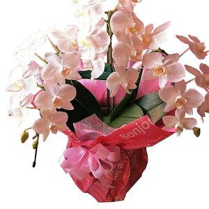 母の日 プレゼント ミニ胡蝶蘭 鉢植え ◆母の日ギフト 花鉢 かわいい胡蝶蘭 花言葉は幸福が飛んでくる♪