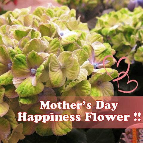 母の日 プレゼント 鉢植え あじさい 色が変化するアジサイ 変化をお楽しみください 青マジカル系◆母の日ギフト 花鉢 秋色アジサイ系