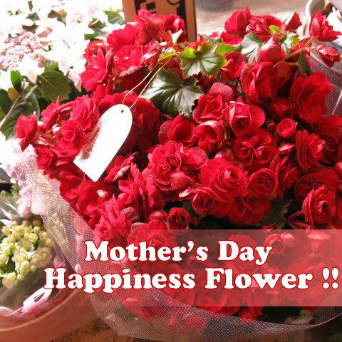 母の日 ベゴニア プレゼント 鉢植え ゴージャス アールデコ系 ◆母の日ギフト 花鉢 ベゴニア
