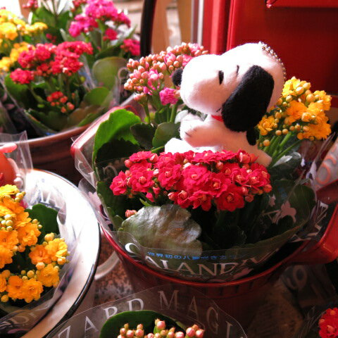 母の日 プレゼント カランコエ カラフルカラー 鉢植え スヌーピー入り ◆母の日ギフト 花鉢 カランコエ