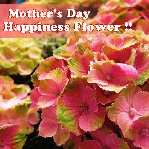 母の日 花 プレゼント 鉢植え あじさい 色が変化するアジサイ お花の長持ち度ナンバー1 ピンクマジカル系◆母の日ギフト 花鉢 秋色アジサイ系