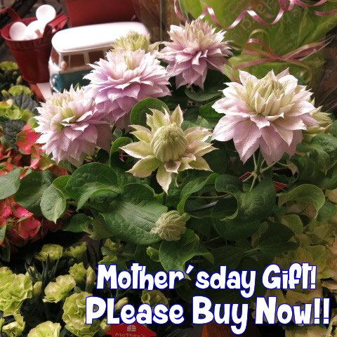 母の日 プレゼント 鉢植え クレマチス 八重パープル ベルオブウォーキング系◆母の日ギフト プレゼン 鉢植え