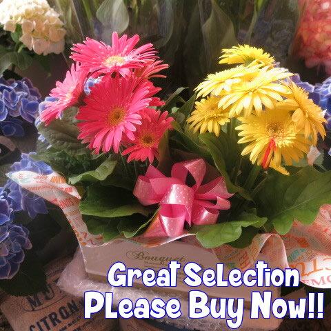 母の日 プレゼント ガーベラ 鉢植え 花言葉は感謝♪ ◆母の日ギフト プレゼント 鉢植え 花鉢