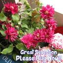 母の日 プレゼント 鉢植え クレマチス 八重赤花系◆母の日ギフト プレゼント 鉢植え 母の日ギフト期間限定商品
