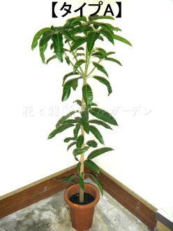 ■芒果的树■Mango■8号钵■什么和4500日元!■