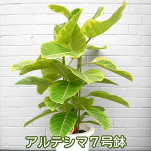 【送料無料】フィカス・アルテシマ 7号鉢 なんと3580円 人気観葉植物【smtb-TD】