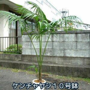 ケンチャヤシ 10号BIG鉢 なんと5980円! 南国ムード満点