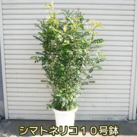 シマトネリコ BIG150cm 10号鉢 美品 なんと6980円! 超人気観葉植物