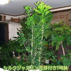 【送料無料】シルクジャスミン 花芽つき 7号鉢 なんと3780円! 超人気観葉植物【smtb-TD】