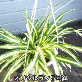 【ポイント5倍】【値下げ】オリヅルラン 吊り5号鉢 なんと399円 送料安い650円〜 人気観葉植物