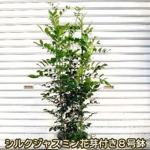シルクジャスミン 花芽つき 8号鉢 なんと3780円! 超人気観葉植物