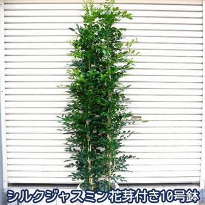 シルクジャスミン BIG10号鉢 花芽つき なんと6980円! 超人気観葉植物