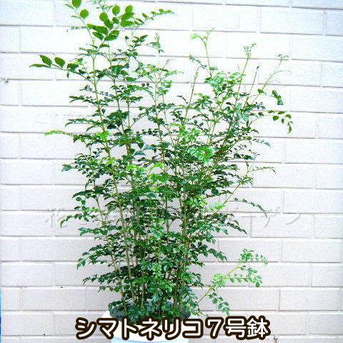 【送料無料】シマトネリコ 7号鉢 85cm なんと3480円! 人気観葉植物 数量限定
