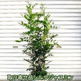【取り寄せ品】シルクジャスミン 8号鉢 ゲッキツ 人気観葉植物
