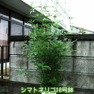 シマトネリコ BIG170cm超 10号鉢 なんと6980円! 超人気観葉植物