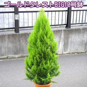 ゴールドクレスト BIG170cm 10号鉢 なんと5980円! 大人気商品