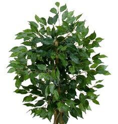 【造花/観葉植物】■90cmフィカスツリー(xs)ナチュラルトンク/MSNGT-2017-xs(店舗装飾・インテリアディスプレイ用/季節の演出・飾り/お祝いやプレゼントに・・造花/アートグリーン/消臭効果の無*光触媒加工できます。)