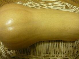 北海道産貴重な逸品バターナッツかぼちゃ 1玉入り(約0.7kg〜1.5kg)