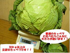 期間限 北海道特産 きゃべつ 札幌大球 1玉当たり 9kg以上
