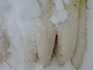 送料無料!期間限定 訳あり 北海道産 甘くて美味しい 越冬熟成雪の下 大根 約10kg(10本入り)