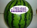 送料無料(一部地域除きます)北海道富良野産訳あり 大玉 スイカ5L〜6Lサイズで1玉当たり8kg以上ジャンボすいか!