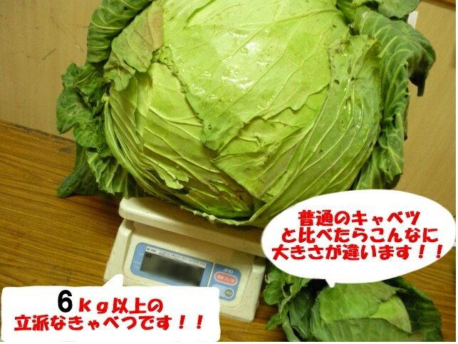 期間限 北海道特産 きゃべつ でか〜い 札幌大球 1玉当たり6kg以上