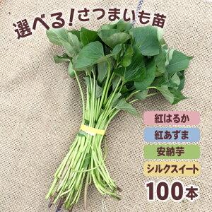 【予約】選べる!さつまいも苗 100本入り 安納芋・紅はるか・紅あずま・シルクスイートの4品種の中から 【野菜苗】サツマイモは手間いらずで簡単!野菜 苗