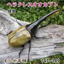 送料無料!【大型!ヘラクレスオオカブト成虫 オス 147〜149ミリ(ヘラクレスヘラクレス)】外国産 カブトムシ 昆虫 …
