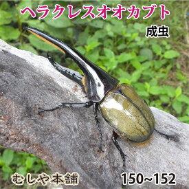 送料無料!【大型!ヘラクレスオオカブト成虫 オス 150〜152ミリ(ヘラクレスヘラクレス)】外国産 カブトムシ 昆虫 生体 ペット プレゼントに