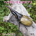 【ヘラクレスオオカブト成虫 オス大型の140mm〜143mm(ヘラクレスヘラクレス)】 外国産 カブトムシ 昆虫 生体 ペット…