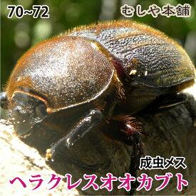 【ヘラクレスオオカブト成虫メス70〜72mm(ヘラクレスヘラクレス)】 カブトムシ 外国産 ペット 昆虫 生体