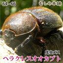 【ヘラクレスオオカブト成虫メス64〜66mm(ヘラクレスヘラクレス)】 カブトムシ 外国産 ペット 昆虫 生体