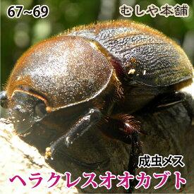 【ヘラクレスオオカブト成虫メス67〜69mm(ヘラクレスヘラクレス)】 カブトムシ 外国産 ペット 昆虫 生体