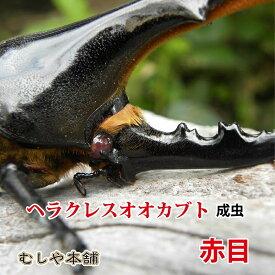 赤目ヘラクレス オオカブト成虫 オスの特大サイズ[カブトムシ]☆