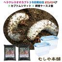 カブトムシが選べる!ヘラクレスオオカブト3令初期幼虫オスメスペア+昆虫マット20L+飼育ケース2個のセット(ヘラクレ…