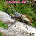 送料無料【ヘラクレスリッキー成虫 オス 135ミリ〜139ミリ】外国産カブトムシ 生体 昆虫 プレゼントに!