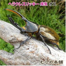 送料無料【ヘラクレスリッキー成虫 オス 130ミリ〜134ミリ】外国産カブトムシ 生体 昆虫 プレゼントに!