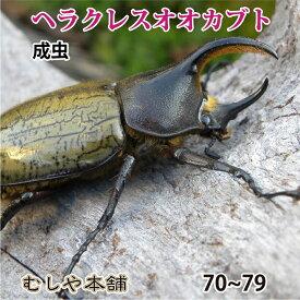 【ヘラクレスオオカブト(ヘラクレスヘラクレス)成虫 オス 約70mm〜】 外国産 カブトムシ 昆虫 生体 ペット