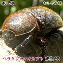 【ヘラクレスオオカブト成虫メス40〜49mm(ヘラクレスヘラクレス)】 カブトムシ 外国産 ペット 昆虫 生体