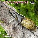 送料無料【ヘラクレスオオカブト成虫 オス大型の144ミリ〜146ミリ(ヘラクレスヘラクレス)】外国産カブトムシ 昆虫 …