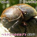 【ヘラクレスオオカブト成虫メス60〜63mm(ヘラクレスヘラクレス)】 カブトムシ 外国産 ペット 昆虫 生体
