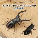 【マンディブラリスフタマタクワガタ オスメスペア Lサイズ】クワガタ 昆虫 ペット 生体