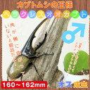 【カブトムシ】超大型!ヘラクレスオオカブト 成虫 オス 160mm~162mm
